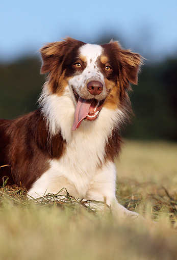DOG 01 SS0013 01 © Kimball Stock Australian Shepherd Laying On Grass