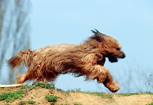 DOG 01 SS0014 01 © Kimball Stock Briard Jumping Over Dirt Hilltop