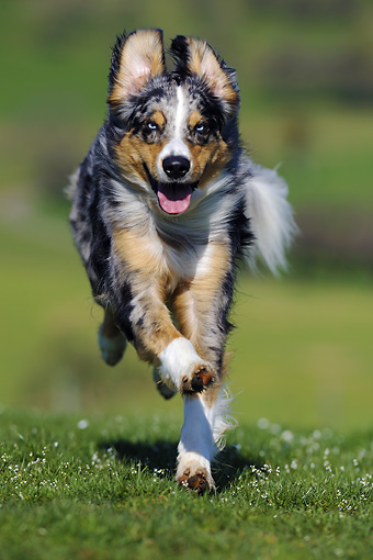 DOG 01 SS0024 01 © Kimball Stock Australian Shepherd Running Through Meadow
