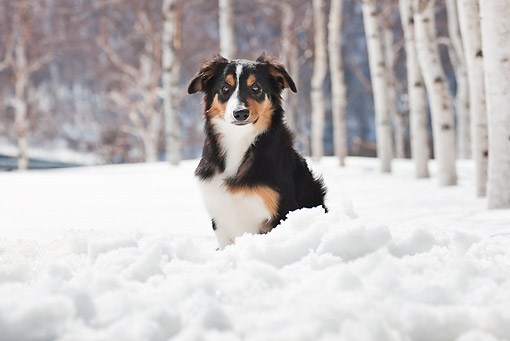 DOG 01 YT0001 01 © Kimball Stock Border Collie Sitting In Snow