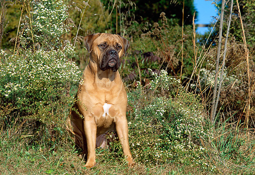 DOG 01 CE0001 01 © Kimball Stock Bullmastiff Sitting In Field By Wildflowers