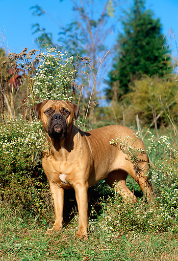DOG 01 CE0004 01 © Kimball Stock Bullmastiff Standing In Field By Wildflowers