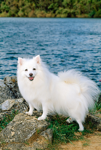 DOG 01 CE0007 01 © Kimball Stock American Eskimo Standing On Rock By Water