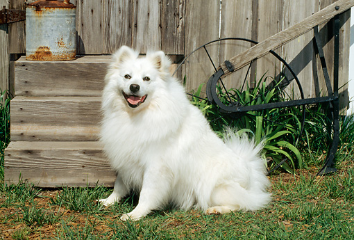 DOG 01 CE0008 01 © Kimball Stock American Eskimo Sitting On Grass By Barn And Steps