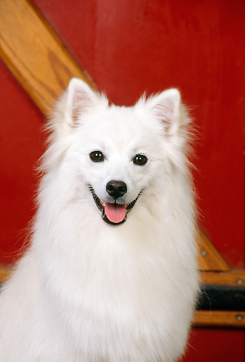 DOG 01 CE0011 01 © Kimball Stock Head On Shoulder Shot Of American Eskimo Sitting By Red Cabin Door