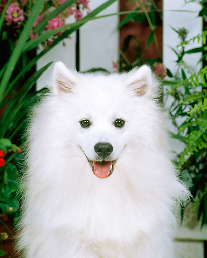 DOG 01 CE0012 01 © Kimball Stock Head On Shoulder Shot Of American Eskimo Sitting By Flowers And Picket Fence