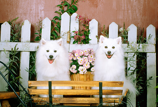 DOG 01 CE0013 01 © Kimball Stock Two American Eskimos Sitting On Bench By Flowers And Wooden Wagon
