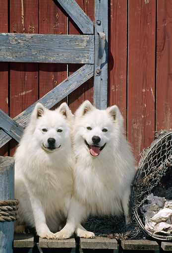 DOG 01 CE0014 01 © Kimball Stock Two American Eskimos Sitting On Dock By Cabin Door