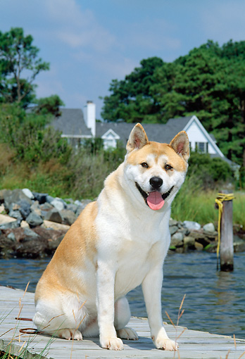 DOG 01 CE0017 01 © Kimball Stock Akita Sitting On Dock By Rocks And House
