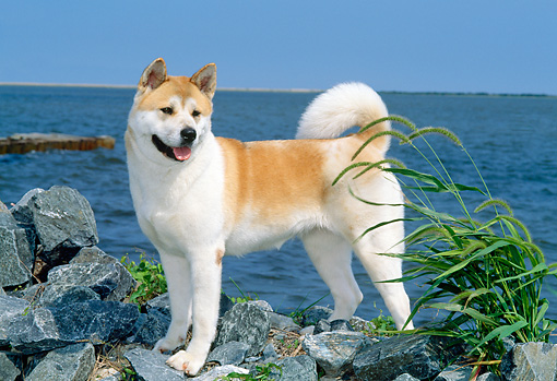 DOG 01 CE0018 01 © Kimball Stock Akita Standing On Rocks By Water