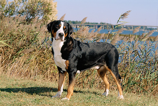 DOG 01 CE0021 01 © Kimball Stock Greater Swiss Mountain Dog Standing On Grass By Water And Blue Sky