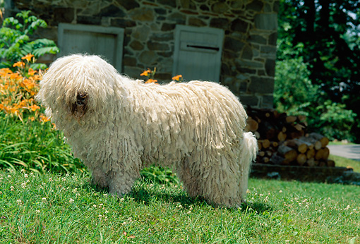 DOG 01 CE0024 01 © Kimball Stock Komondor Standing On Grass By Orange Flowers And Stone Building
