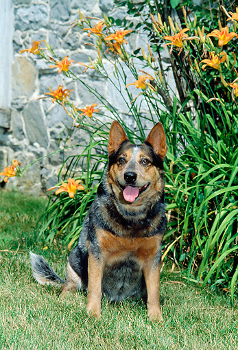 DOG 01 CE0025 01 © Kimball Stock Australian Cattle Dog Sitting On Grass By Orange Flowers And Stone Building