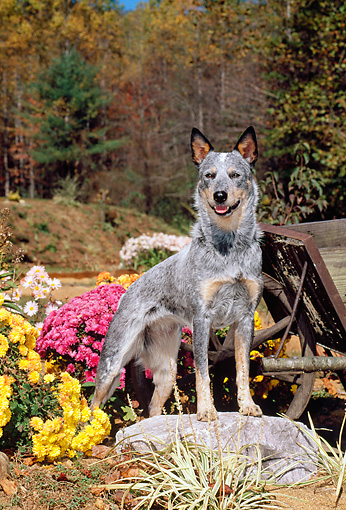 DOG 01 CE0028 01 © Kimball Stock Australian Cattle Dog Standing On Rock By Wheelbarrow And Flowers