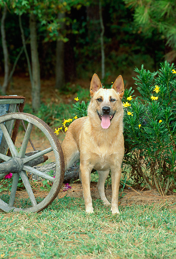 DOG 01 CE0034 01 © Kimball Stock Australian Cattle Dog Standing By Wheelbarrow And Yellow Flowers