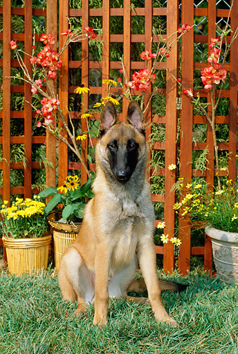 DOG 01 CE0041 01 © Kimball Stock Belgian Malinois Puppy Sitting On Grass By Flowers And Trellis