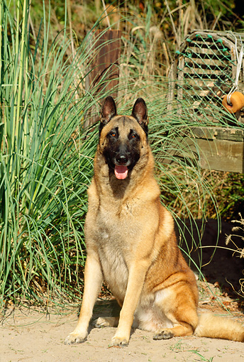 DOG 01 CE0042 01 © Kimball Stock Belgian Malinois Sitting On Sand By Dock And Tall Grass