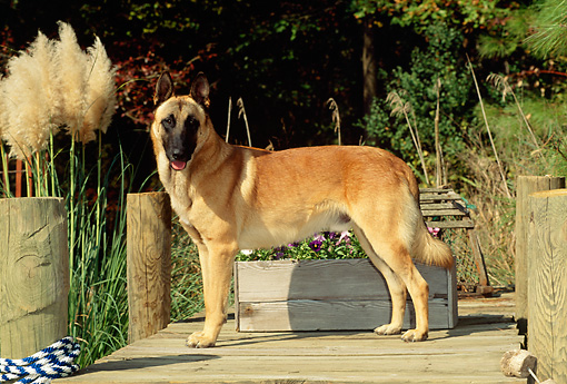 DOG 01 CE0043 01 © Kimball Stock Belgian Malinois Standing On Dock By Tall Grass