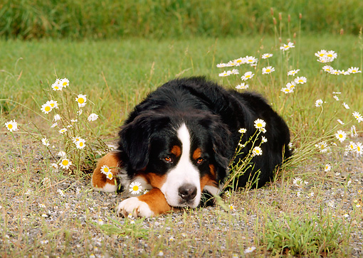 DOG 01 CE0044 02 © Kimball Stock Bernese Mountain Dog Laying In Field By White Flowers