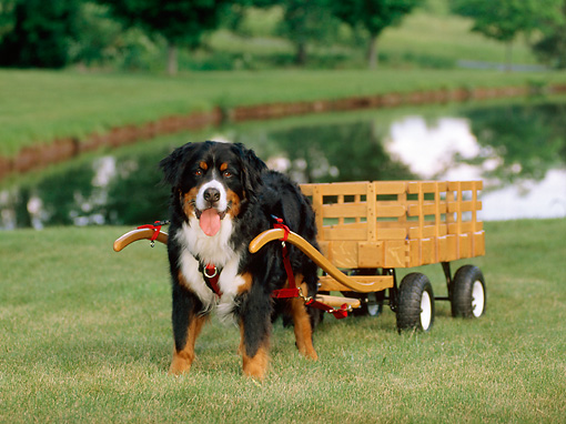 DOG 01 CE0045 01 © Kimball Stock Bernese Mountain Dog Pulling Cart On Grass By Pond