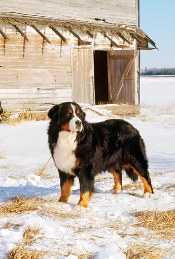 DOG 01 CE0046 01 © Kimball Stock Bernese Mountain Dog Standing On Snow By Old Barn