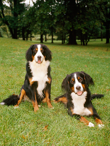 DOG 01 CE0049 01 © Kimball Stock Two Bernese Mountain Dogs Resting On Grass By Trees