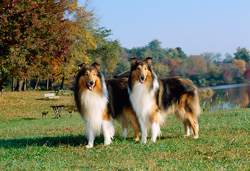 DOG 01 CE0050 01 © Kimball Stock Two Rough Collies Standing On Grass By Trees Water Blue Sky