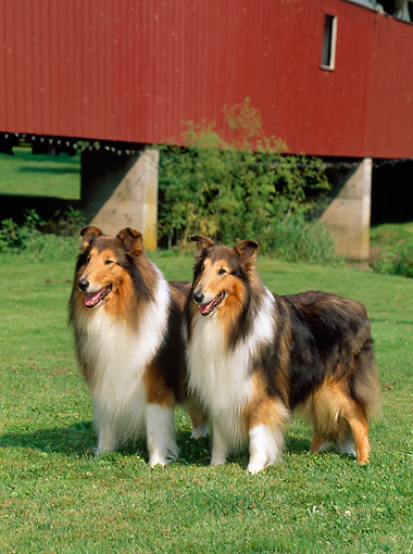 DOG 01 CE0051 01 © Kimball Stock Two Rough Collies Standing On Grass By Red Covered Bridge