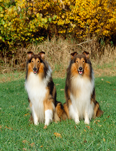 DOG 01 CE0052 01 © Kimball Stock Two Rough Collies Sitting On Grass By Autumn Shrubs