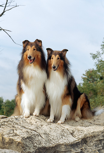 DOG 01 CE0053 01 © Kimball Stock Two Rough Collies Sitting On Rock By Trees Sky