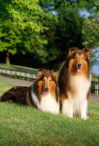 DOG 01 CE0054 01 © Kimball Stock Two Rough Collies Sitting On Grass Hill By Path