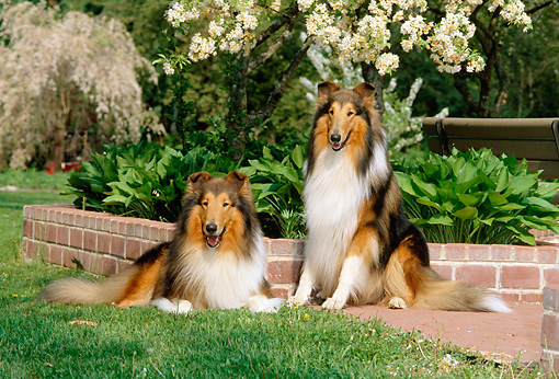 DOG 01 CE0055 01 © Kimball Stock Two Rough Collies Sitting On Grass By Brick Planter Plants Flowering Trees