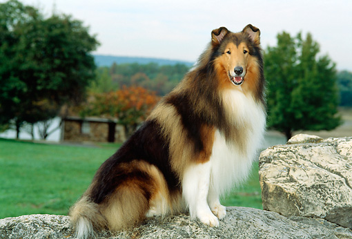 DOG 01 CE0056 01 © Kimball Stock Rough Collie Sitting On Rock By Grass Trees Sky