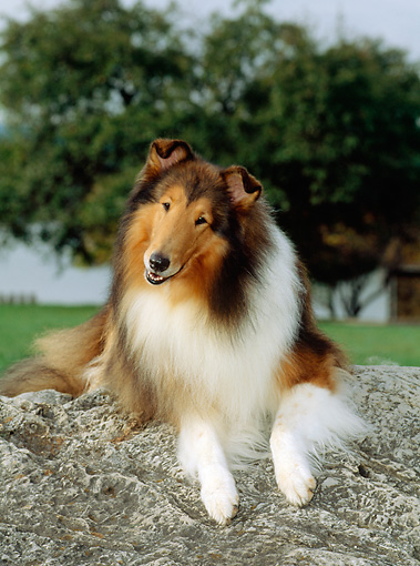 DOG 01 CE0057 01 © Kimball Stock Rough Collie Laying On Rock By Grass Trees Sky