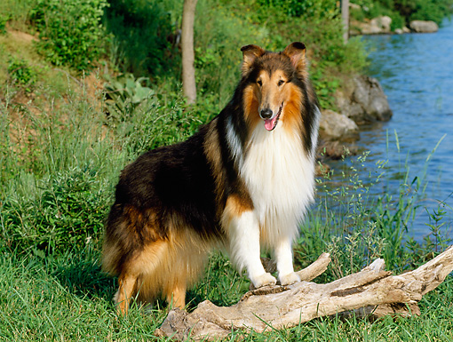 DOG 01 CE0059 01 © Kimball Stock Rough Collie Standing On Log By Lake And Trees