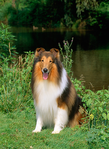 DOG 01 CE0060 01 © Kimball Stock Rough Collie Sitting On Grass By Lake And Trees