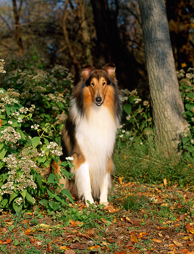 DOG 01 CE0061 01 © Kimball Stock Rough Collie Sitting Among Shrubs At Edge Of Woods