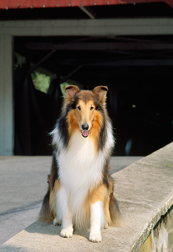 DOG 01 CE0062 01 © Kimball Stock Rough Collie Sitting On Stone Wall By Covered Bridge
