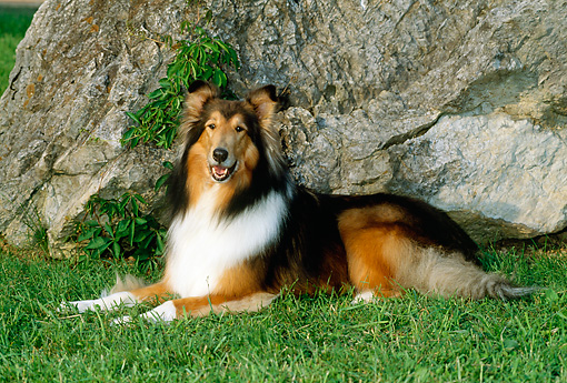 DOG 01 CE0063 01 © Kimball Stock Rough Collie Laying On Grass By Rock