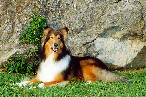 DOG 01 CE0063 02 © Kimball Stock Rough Collie Laying On Grass By Rock