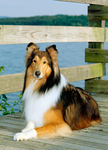 DOG 01 CE0064 01 © Kimball Stock Rough Collie Laying On Deck By Water