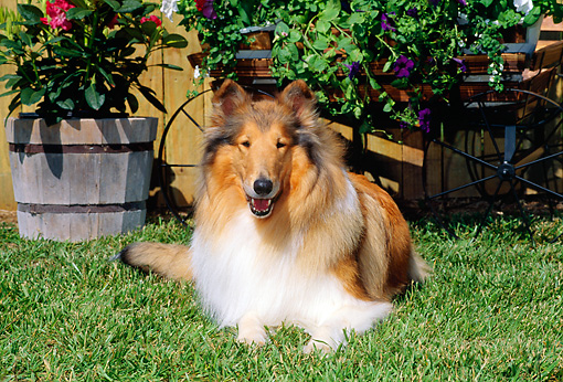 DOG 01 CE0065 01 © Kimball Stock Rough Collie Laying On Grass By Flowers And Cart