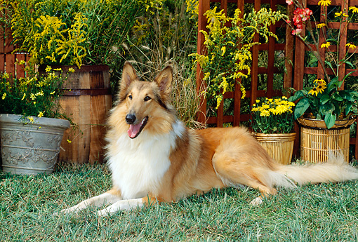 DOG 01 CE0066 01 © Kimball Stock Rough Collie Laying On Grass By Flowers And Trellis