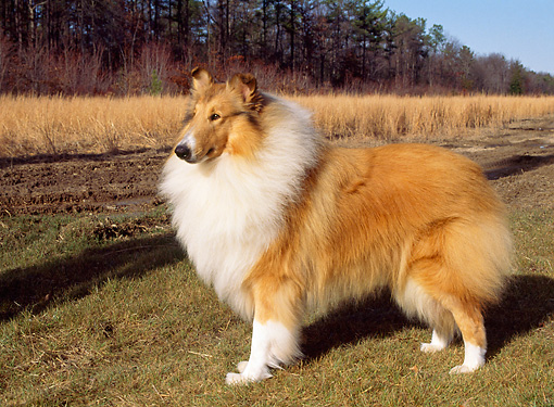 DOG 01 CE0067 01 © Kimball Stock Rough Collie Standing On Grass By Field And Trees  Autumn