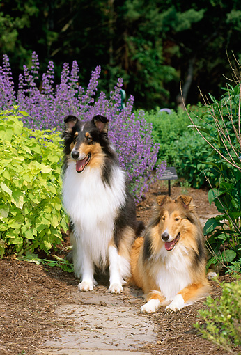 DOG 01 CE0068 01 © Kimball Stock Two Rough Collies Laying In Garden By Flowers