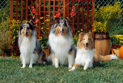 DOG 01 CE0069 01 © Kimball Stock Rough Collie Adults And Puppy Sitting In Garden By Flowers And Trellis