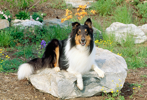 DOG 01 CE0070 01 © Kimball Stock Rough Collie Laying On Rock In Garden