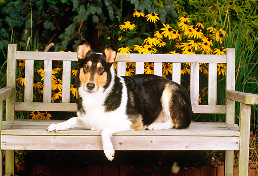 DOG 01 CE0071 01 © Kimball Stock Smooth Collie Laying On Bench By Flowers