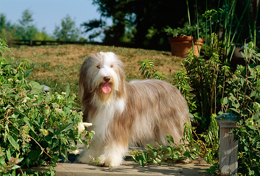 DOG 01 CE0075 01 © Kimball Stock Bearded Collie Standing On Dock By Foliage And Trees