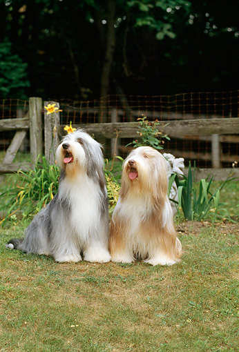 DOG 01 CE0076 01 © Kimball Stock Two Bearded Collies Sitting On Grass By Fence And Trees